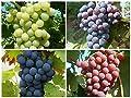 Angebotspreis: 4 beliebte Sorten Wein - Reben im Set, jeweils im 2 Liter Topf von Grüner Garten Shop bei Du und dein Garten