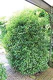 Kirschlorbeer, Portugisischer Kirschlorbeer 'Angustifolia' - Im 10lt. Topf, Höhe 60-80cm
