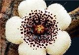 stapelien grasschnecke Samen Leopard Haut Succulents Lithops Flower 100/Tasche