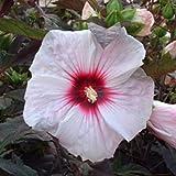 lichtnelke - Riesen-Hibiskus (Hibiscus moscheutos) Kopper King®