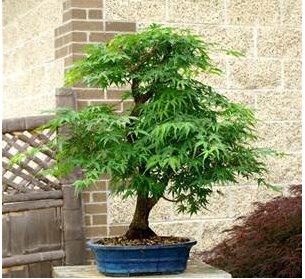 20 pcs / sac feu érable, érable leafs, graines d'arbres bonsaï, graines de l'érable japonais de croissance naturel pour la maison jardin plantation