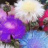 ASTONISH Semi Pacchetto: 30 PCS: Centaurea cyanus Fiori Semi Fiordaliso Bonsai Seeds giardino domestico RLWH 01