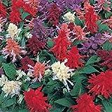 Shoopy Star Barbe Rouge 40 + Jupiter Centranthus Graines de fleurs/vivace