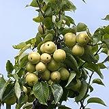 Dominik Blumen und Pflanzen, Nashi, Japanische Birne, Obstbaum, 1 Pflanze, Busch, ca. 60 - 80 cm hoch, 5 - 7 Liter Topf, plus 1 Paar Handschuhe gratis