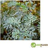 Semillas de hierbas - Rue - Ruta graveolens - Rutaceae 100 semillas