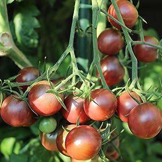 10 Samen Negro Azteca Tomate – seltene Fruchtfarbe, hoher Ertrag