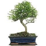 Pfefferbaum, Bonsai, 12 Jahre, 42cm