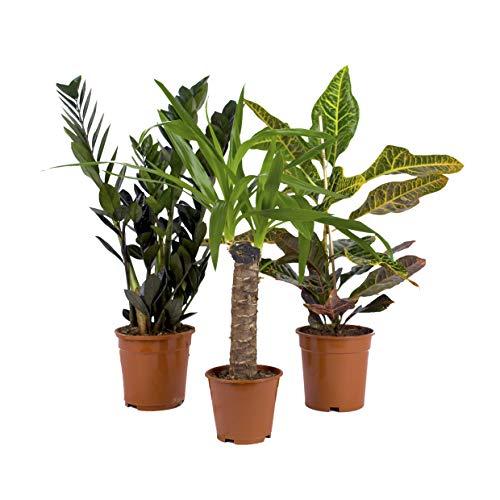 Tropen Mix - 3 Zimmerpflanzen - 1x Zamioculcas / 1x Kroton / 1x Yucca Palme - bunt und pflegeleicht