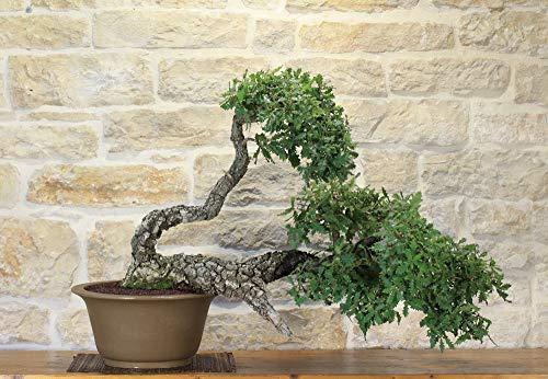 bonsai di quercia - cerro (3)