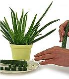 BALDUR-Garten Echte Aloe Vera Pflanze, 1 Pflanze