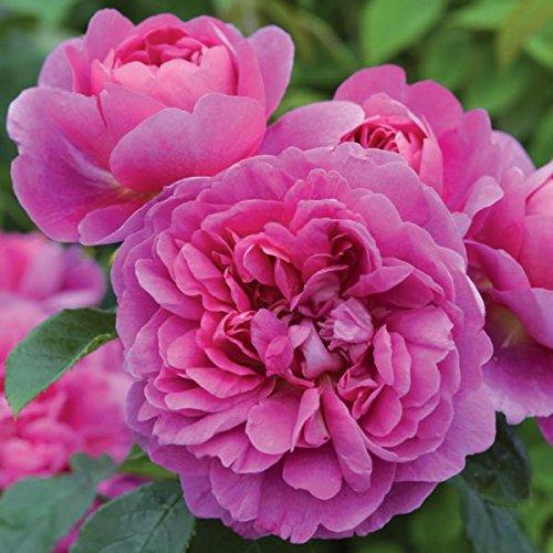 Pianta di rosa Princess Anne rosai rosaio fiori piante giardino cespuglio