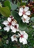 TROPICA - Feijoa (Acca sellowiana) - 20 Semi- Magic tropical