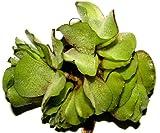 5 x Büschelfarn, Salvina natans, Schwimmpflanzen, Gartenteich