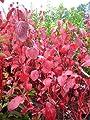Rotholz Hartriegel Cornus alba Sibirica 80 cm hoch im 3 Liter Pflanzcontainer von Plantenwelt Wiesmoor bei Du und dein Garten