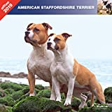 AMSTAFF 2019 - CALENDRIER AFFIXE - AMERICAN STAFFORSHIRE TERRIER