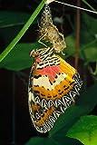 Fine Art Print–MALAYSISCH Florfliegen Schmetterling aus Cocoon, Malaysia von Bentley Global Arts Gruppe, Papier, multi, 12 x 18