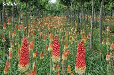 Torch mixte Graines belle flamme Bonsai Lily Graines vivaces Potted Family Garden long Blom Beau décor Fleur 100 Pcs 10