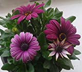 #10: Flower Seeds : Rare Gazania Plant Garden Seeds Flower SeedsHanging- Garden Flower Seeds Pack by Creative Farmer