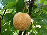 PLAT FIRM GERMINATIONSAMEN: 120 Samen: Asiatische Birne, (Chinese Sand Birne), Nashi-Birne, Baum Samen (Edible, Fast)