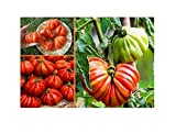 40x Mexikanische Tomaten Samen Saatgut Pflanze Tomate Gemüse #50