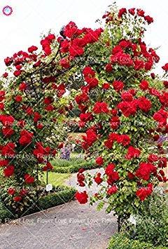 Vegherb 5: 200pcs rosa rampicante semi di rara bellezza cinese rose perenne fiore decor pianta in vaso per la casa garden 5