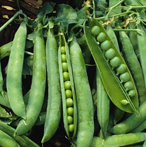 Green Arrow Anglais Bush pois Heirloom non-OGM Jardin potager légumineuse - 25 graines