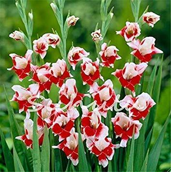Potseed 2ST Gladiolen Zwiebeln, Gladiole Blume (Nicht Gladiolen Samen) Schöne Blumenzwiebeln Symbolisiert Nostalgie, Hausgarten-Anlagen 18