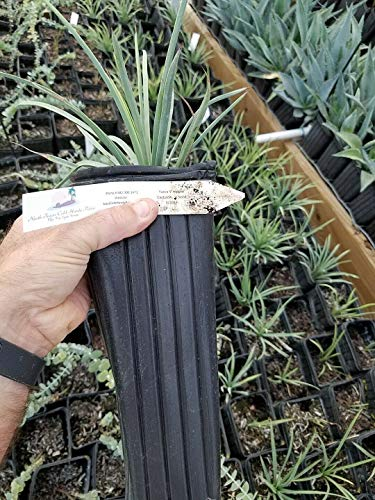 1 Gallon Yucca Whipplei Unseres Herrn Kerze