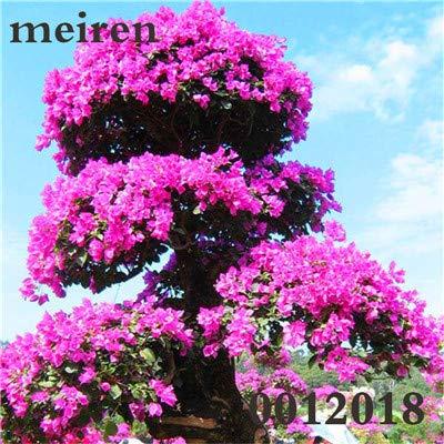 CUSHY Seeds: 100 PC/Bag Japanische Azalee Bonsai, Rhododendron Azalea Außen Blumen Bonsai-Baum Sämling DIY Pflanze Hausgarten einfach wachsen: 13 13 Azalea