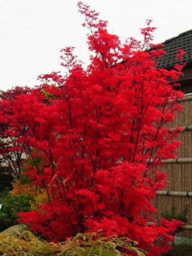 large-acer-japanese-maple-tree-skeeters-broom