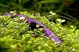 Micranthemum sp. Monte Carlo