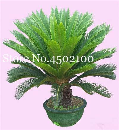 bloom green co. 5 pz blu cycas bonsai, sago palma plant, cycas albero, pianta in vaso rare per la casa giardino popolare paesaggio pianta facile da coltivare: 2