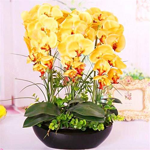 Shopmeeko 10 Stück Orchidee Pflanze seltene Phalaenopsis Orchidee Blume Pflanze Indoor Bonsai Blume für Hausgarten Pflanzen: 3