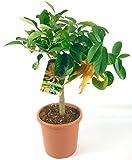 Buddah´s Hand Zitrone ca.70-80cm incl. Topf, Citrus mano di buddha, Zitronenbaum veredelt