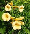Gelbe Trompetenblume 'Flava' - Campsis radicans 'Flava' 60-100 cm, ab 2 Triebe von Gartengruen24 auf Du und dein Garten