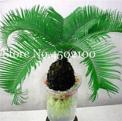 pinkdose 5 pz blue cycas bonsai, sago palm tree plant, cycas tree, pianta in vaso rara per giardino domestico pianta paesaggio popolare facile da coltivare: 9