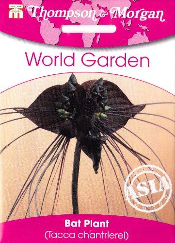 Fledermausblume, Fledermauspflanze, Teufelspflanze, Teufelsblume, Tacca Chantrierei, ca. 4 Samen