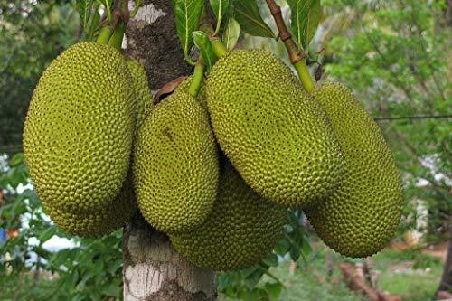 Siam Garden Live Grafted Gumless Jackfruit Plant