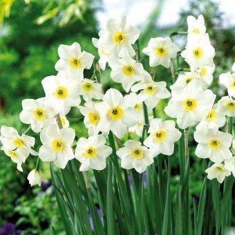 Soteer 100 Stück Narzisse Blumensamen Duftend Blumenzwiebel Saatgut für Barkon, Garten winterhart von Soteer auf Du und dein Garten