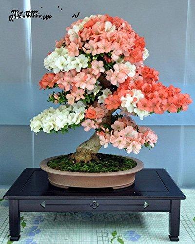 Nueva Bonsái japonesa Sakura Semillas 10pcs colorido de cerezo en flor Plantas para el hogar y jardín Flores hermosas