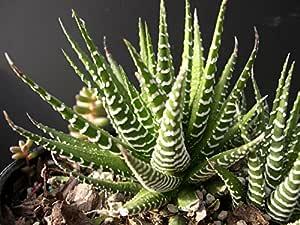 Succulents Haworthia Attenuata