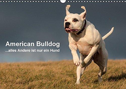 American Bulldog - alles Andere ist nur ein Hund (Wandkalender 2017 DIN A3 quer): Mit dem American Bulldog durchs Jahr. (Monatskalender, 14 Seiten) (CALVENDO Tiere)
