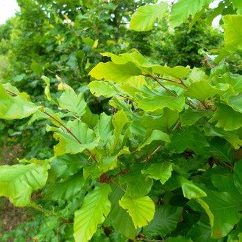20 Stück Fagus sylvatica – (Rotbuche) Heckenpflanzen im Topf 30 – 50 cm