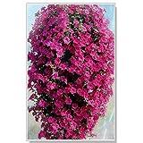 Generic Fresh 100 pcs SEMILLA de flor de Petunia colgante para plantar Rosa oscuro