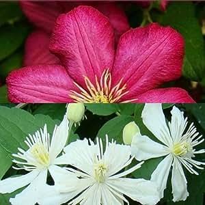2 Clematis Kletterpflanzen: Clematis Summer Snow & Clematis Ville de Lyon - 1,5 Liter Topfen - Weiß und Rot & Winterhart | ClematisOnline Kletterpflanzen und Blumen