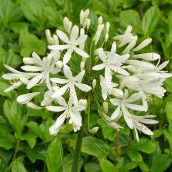 Seedeo Schmucklilie Weiß (Agapanthus orientalis) Getty White 25 Samen