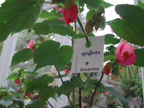 encarsia-for-whitefly-control-half-course