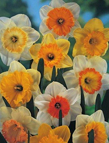 Großblumige gemischte Narzissen Narcissus