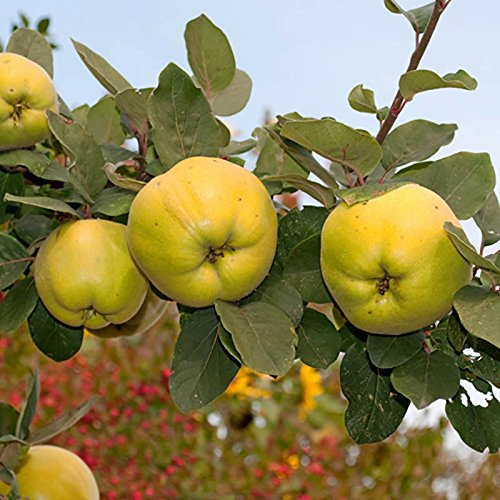 quince-vranja-cydonia-patio-fruit-tree-in-a-5l-pot-12m-tall-grow-your-own-fruit