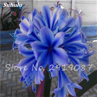 100 Pcs Clivia Graines bon marché Clivia Fleurs Mix Couleurs Bonsai Balcon fleur pour jardin meilleur cadeau pour les enfants So Beautiful 11